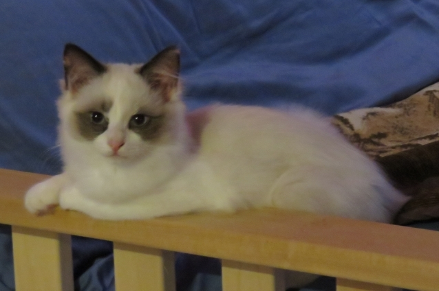 Shelby - Ragdoll Kitten of the Month