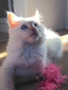 kimba-ragdoll-kitten-of-the-month-1