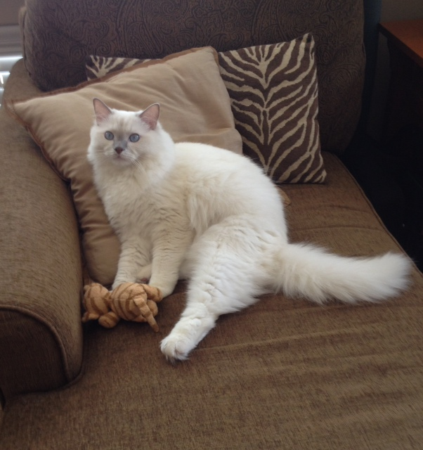 Zichron Tziyon - Ragdoll of the Week