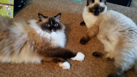 BONUS Giveaway Winner of Neko Pawdz UJI Cat Play Tunnel System Reports Back Ragdoll Cats