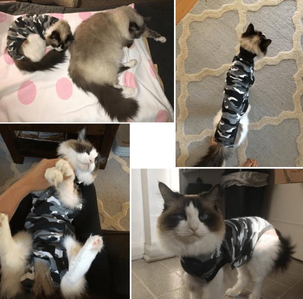 Ragdoll Cat Addie Story of Feline Gastrointestinal Eosinophilic Sclerosing Fibroplasia Discovery Suitical
