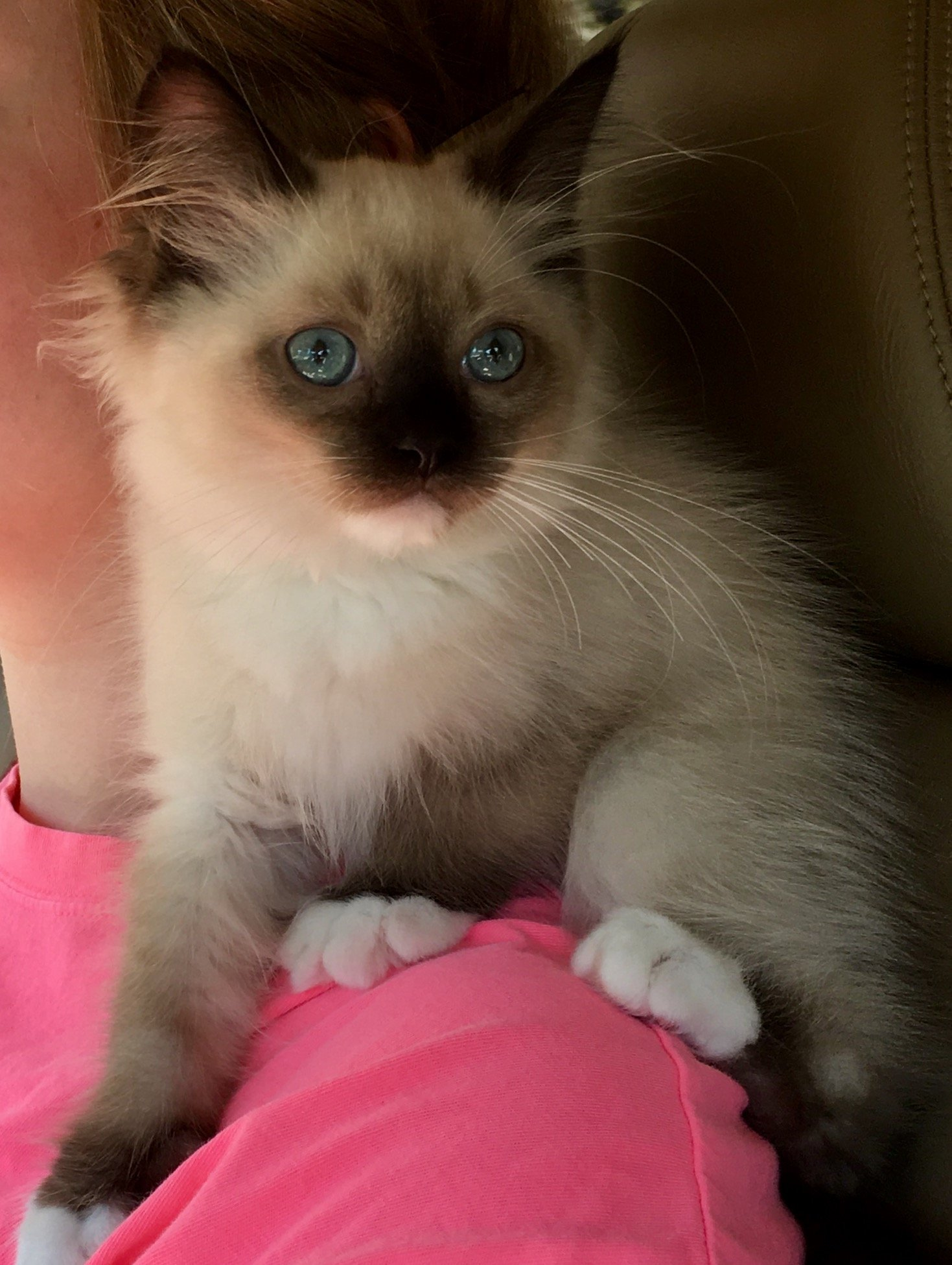 Kaki Ragdoll Kitten of the Month