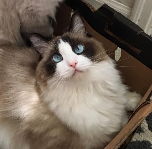 Ragdoll Cat Addie