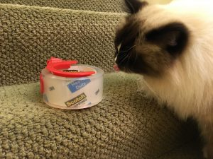 why-do-cats-eat-tape-ragdoll-cat-charlie-eats-tape