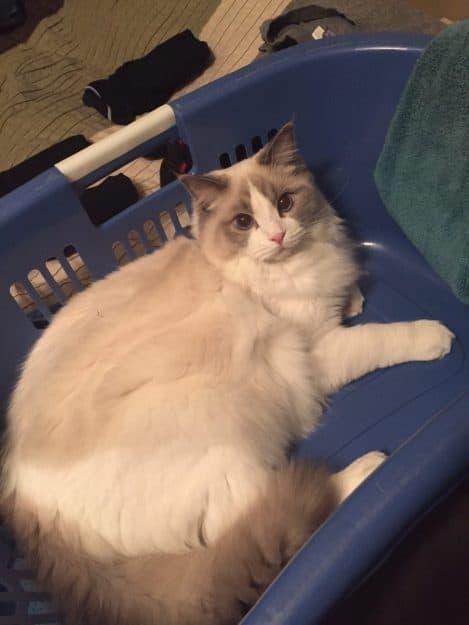 Blue Bicolor Ragdoll Cat in a Laundry Basket