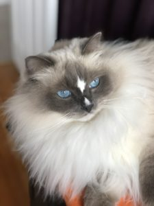 Fiyero, blue point mitted with a blaze, loved by Cynthia