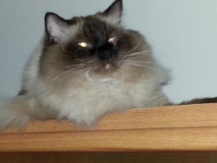 Hawkeye - Ragdoll of the Week proud kitty