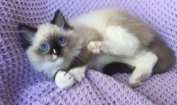Maximus - Ragdoll of Week 3