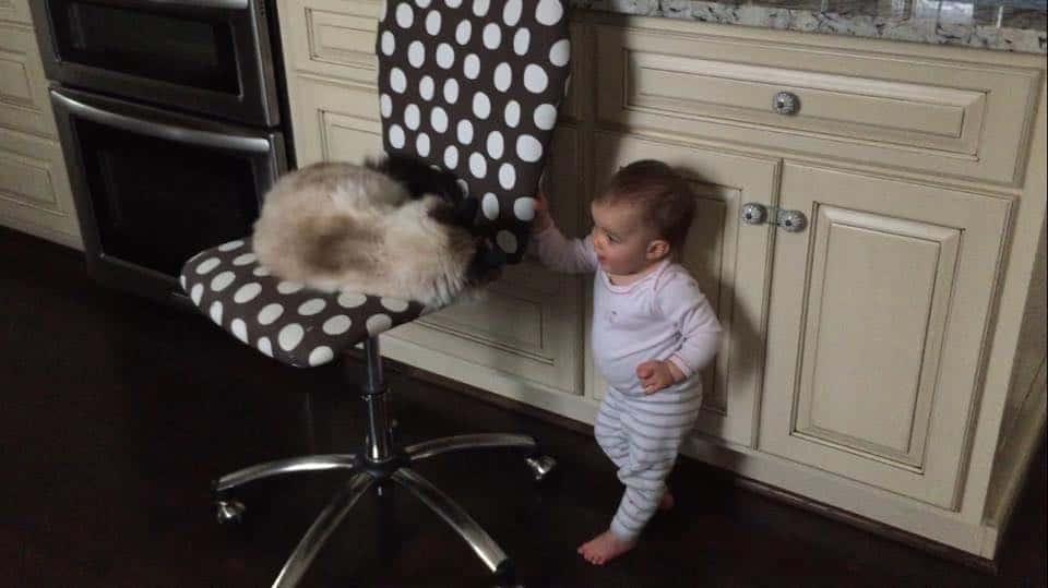 Blue Chair Cat Allergies
