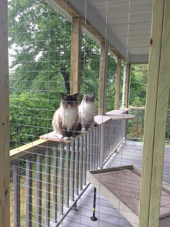 Pepper and Rigsby - Ragdolls of the Week