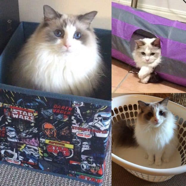 Soki - Ragdoll of the Week boxes