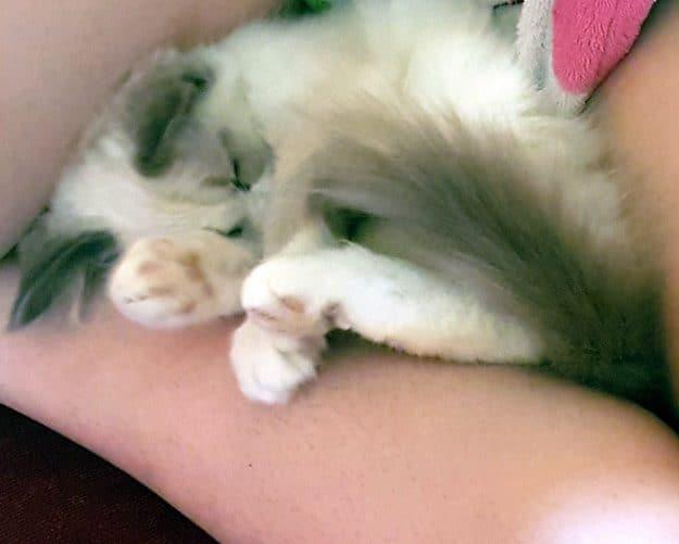 PEPONA - A Bicolor Ragdoll Kitten in Argentina