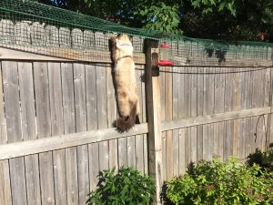 Cat Containment Fence One Reader Shares How He Contains His Ragdoll Cat Harry Ragdoll Cat Simon 3