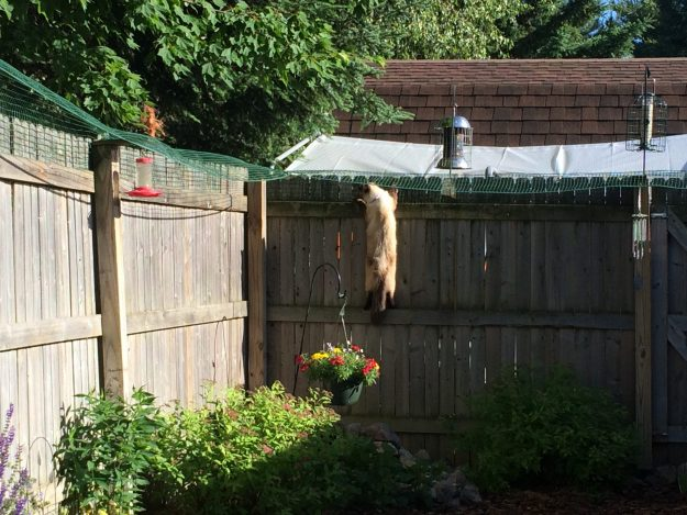 Cat Containment Fence One Reader Shares How He Contains His Ragdoll Cat Harry Ragdoll Cat Simon 4