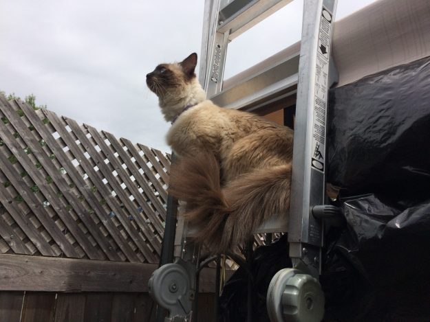 Cat Containment Fence One Reader Shares How He Contains His Ragdoll Cat Harry Ragdoll Cat Simon