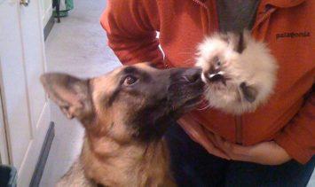 German Shepherd Napa Meeting Ragdoll Kitten Charlie