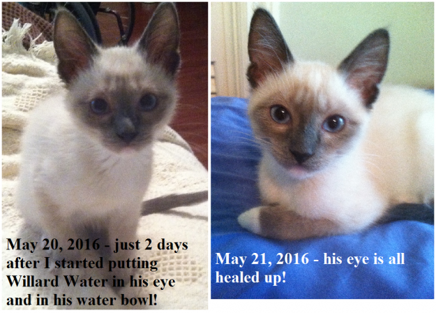 Willard Water A Cure of Cat Conjunctivitis 2