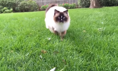 Ragdoll Cat Charlie Walking