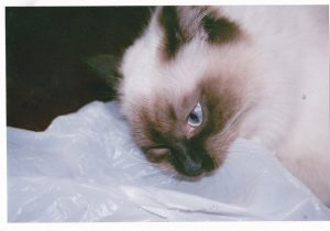 Cat chewing on plastic bag