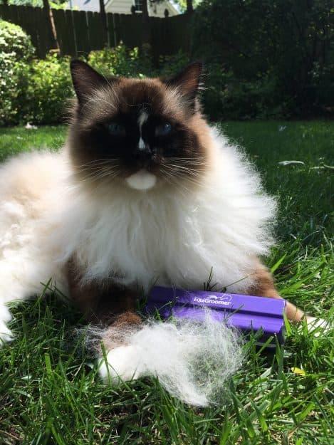 EquiGroomer cat brush grooming a Ragdoll cat