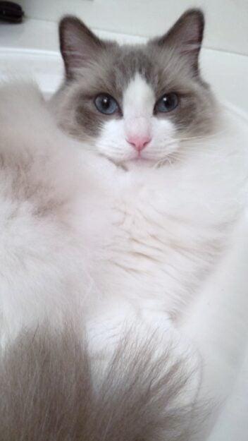 Bella is a 7 year old Blue bi-color ragdoll