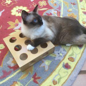 Minkie Ragdoll Cat with Projectile Diarrhea