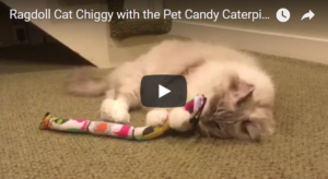 Ragdoll Cat Chiggy with the Pet Candy Caterpillar Catnip Toy from The Cat Connection in Dallas