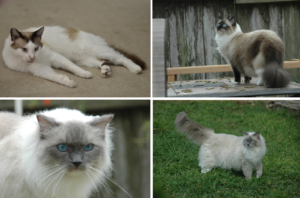 Patches, Missy, Blue and Victoria - Ragdolls of the Week