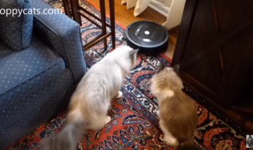 How Ragdoll Cats Ash and Addie Respond to Unboxing of iRobot Roomba 805 from Costco - Floppycats
