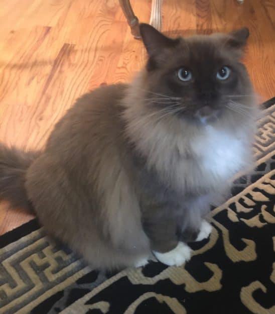 Chopstix O'Neill III - Ragdoll Kitten of the Month 2