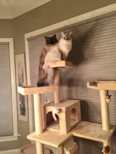 Chopstix O'Neill III - Ragdoll Kitten of the Month 3