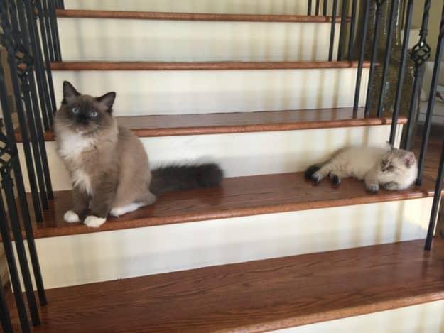 Chopstix O'Neill III - Ragdoll Kitten of the Month