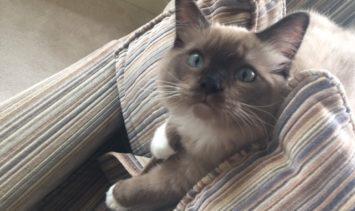 Chopstix O'Neill III - Ragdoll Kitten of the Month chopstix-5 months