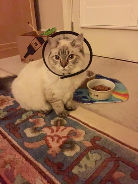 Meili - Ragdoll Kitten of the Month IMG_9026