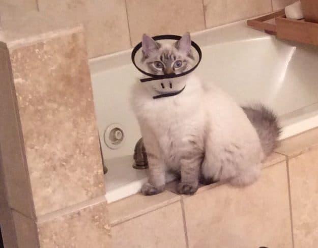 Meili - Ragdoll Kitten of the Month IMG_9038