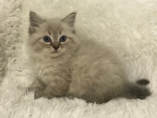 Meili - Ragdoll Kitten of the Month IMG_9373