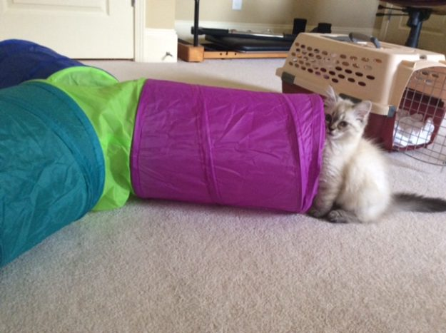 Meili - Ragdoll Kitten of the Month IMG_9582