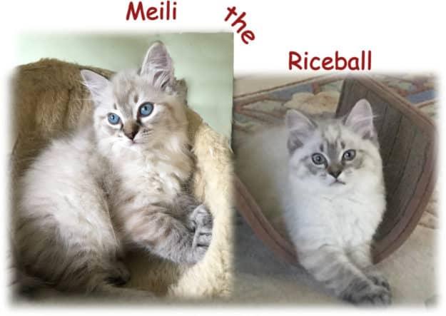 Meili - Ragdoll Kitten of the Month mei collage