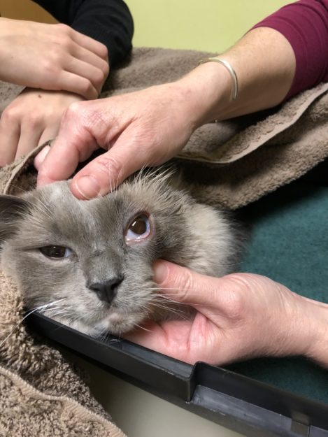Ragdoll Cat Eye Issue Ash IMG_0910