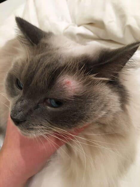 Ragdoll Cat Eye Issue Ash
