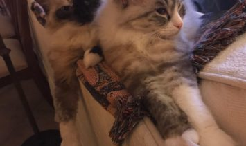Gabby and Louise - Ragdolls of the Week IMG_2439