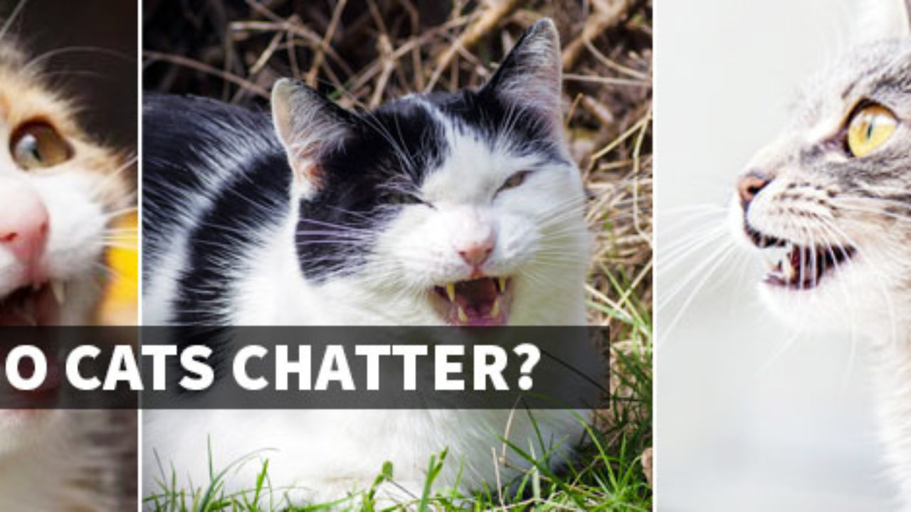 Cat Sounds - Why Do Cats Chatter and Chirp