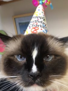 Charlie Birthday 9 Seal Mitted Ragdoll cat with an hourglass blaze IMG_2729