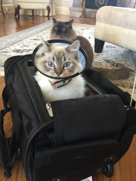 Meili - Ragdoll Kitten of the Month image1