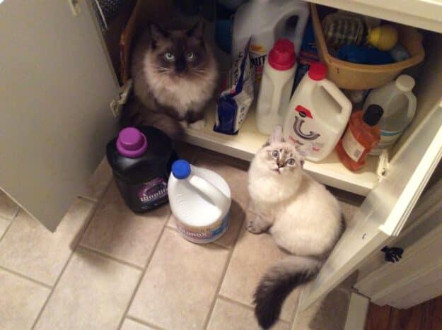 Meili - Ragdoll Kitten of the Month image3
