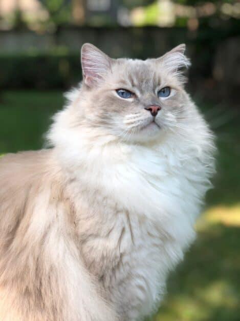 Ragdoll Cat Trigg Birthday 2018 9 Years Old IMG_2831