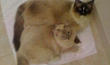 Ragdoll Cats Charlie and Trigg on a Bath Mat