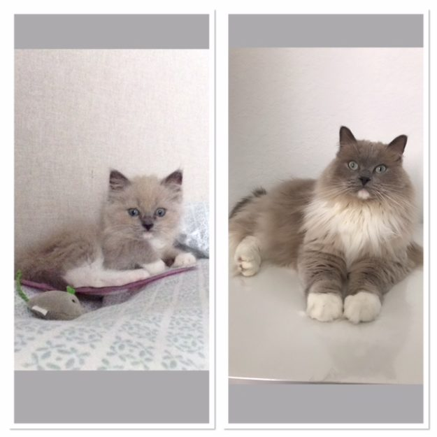 12 weeks old to 3 years old! Chloe, a mitted blue color point with blue eyes loved by Erica Litchfield