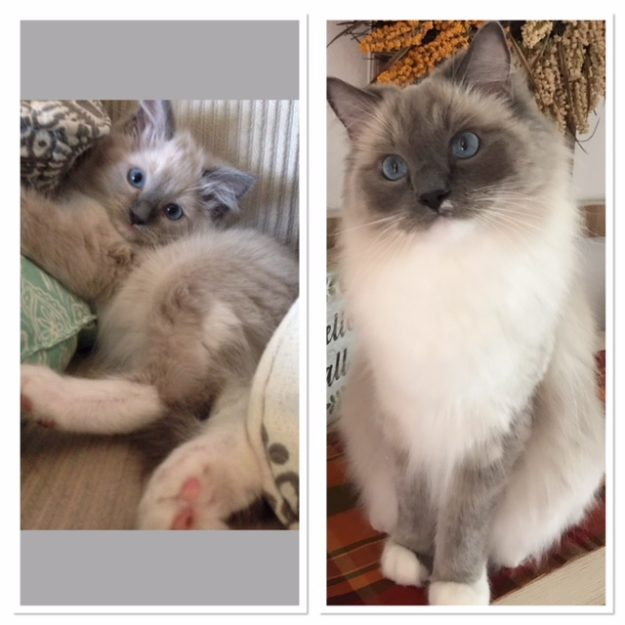 12 weeks old to 3 years old! Thumper, a mitted blue color point with blue eyes and a small blaze loved by Erica Litchfield