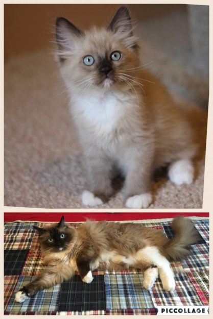 Dylan at 2 months and 2 years. Dylan is a seal mink mitted ragdoll.